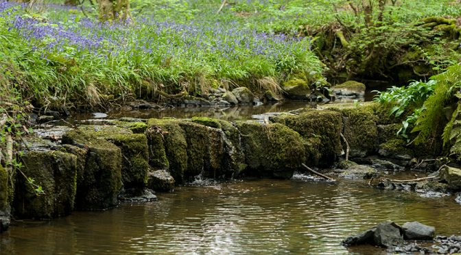 The Bluebells Are Back