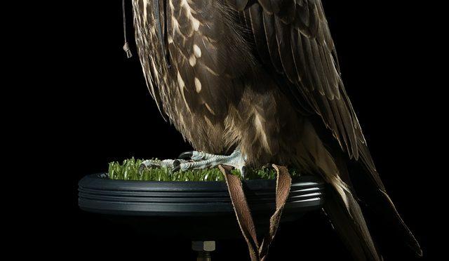Black Gyr Falcon